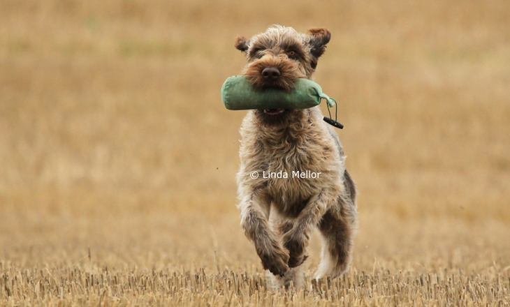 gun dog training korthals griffon