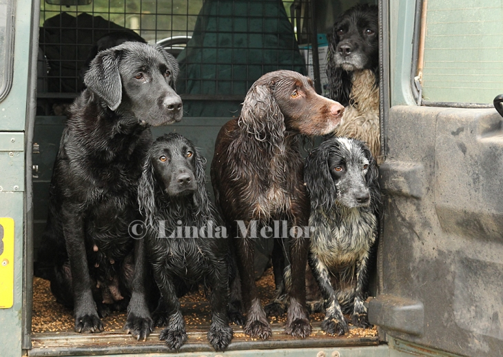 Working dogs ( spaniels and labrador) in the back of a Defender 90 Land Rover