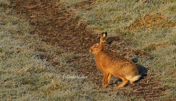 Hare in the morning sunlight
