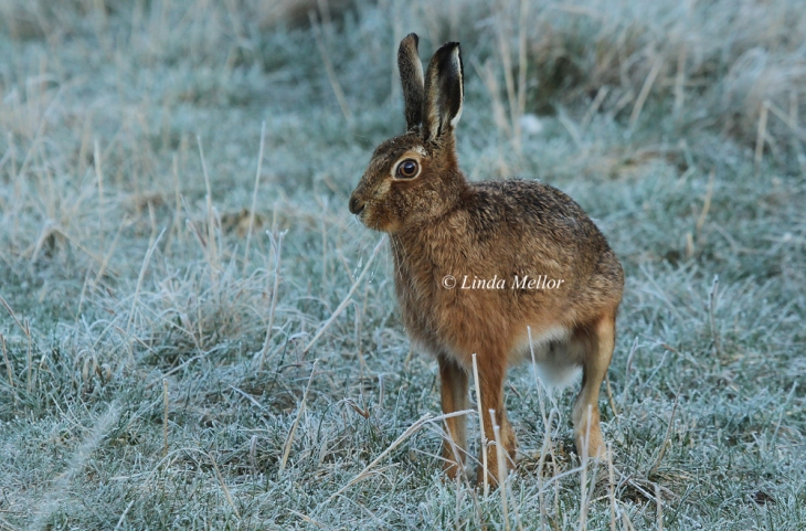 Young Hare on a frosty morning