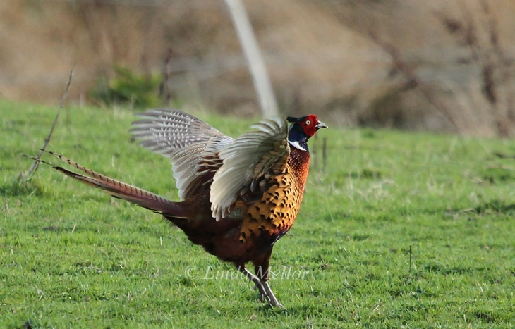 Cock pheasant in the evening sunshine