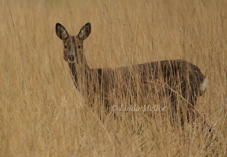 Roe deer doe in long grass