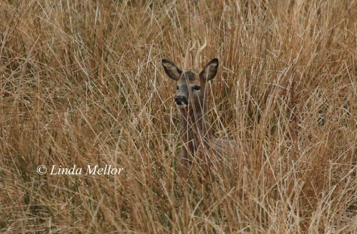 Early morning roe buck trying to sniffing the air