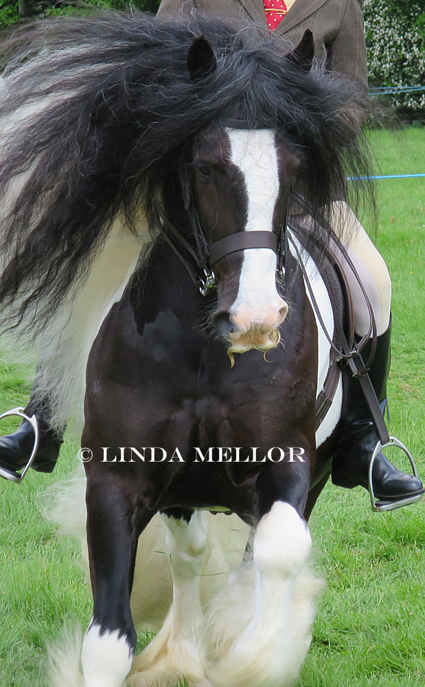 Fife Show, Saturday 24th May 2014, coloured cob class.