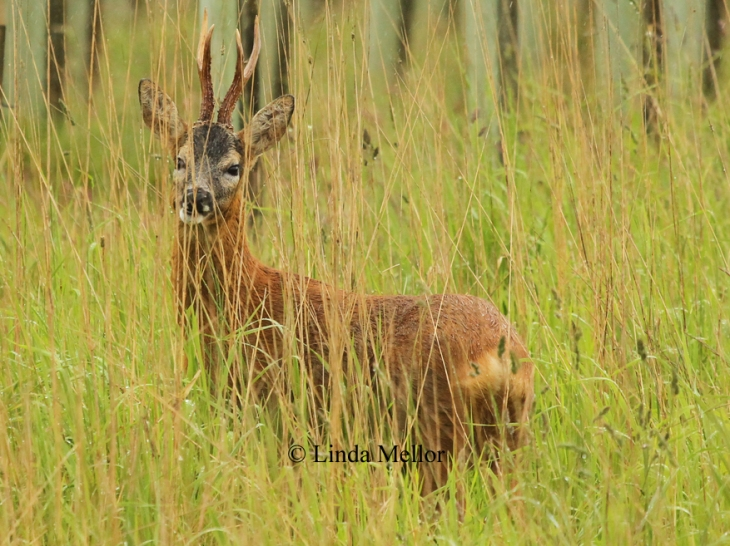 Roe deer buck in the long grass on a rainy day.