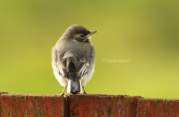 Wagtail Chick