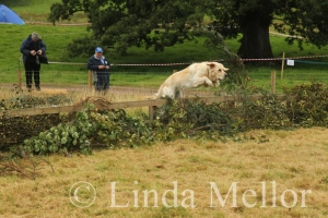 Golden Retriever taking part in the scurry