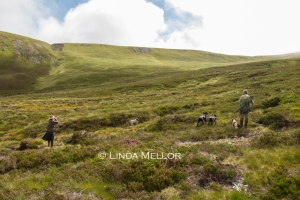 Shooting Grouse over pointers in the highlands of Scotland