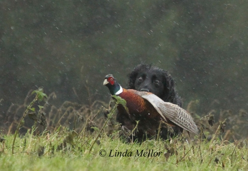 Cocker spaniel retrieving a runner on a very wet driven shoot day, Scotland